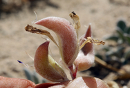 Astragalus argophyllus var. argophyllus