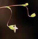 Nemacladus sigmoideus