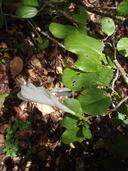 Hibiscus arnottianus ssp. immaculatus
