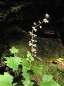 Tiarella trifoliata var. unifoliata