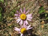 Corethrogyne filaginifolia var. californica