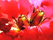 Popillia japonica