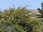 Rosa rubiginosa