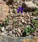 Trifolium longipes ssp. oreganum