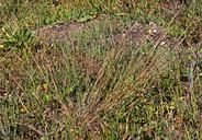 Puccinellia nutkaensis