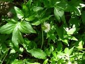 Hydrophyllum fendleri var. albifrons