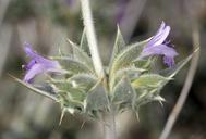 Salvia greatae
