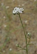 Cryptantha flaccida