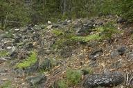 Pteridium aquilinum var. pubescens