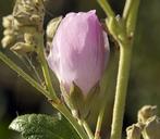 Malacothamnus fasciculatus var. nesioticus