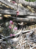 Streptanthus glandulosus ssp. hoffmanii