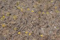 Bloomeria crocea var. aurea