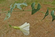 Calystegia occidentalis ssp. fulcrata
