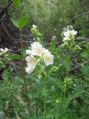 Polemonium foliosissimum var. alpinum