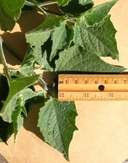 Physalis pubescens var. grisea