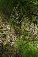 Thysanocarpus sp.