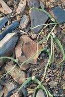Allium crenulatum