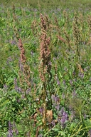 Rumex occidentalis
