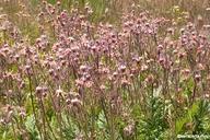 Geum triflorum var. campanulatum