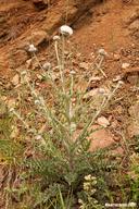 Cirsium inamoenum