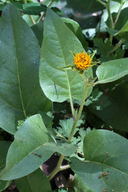 Wyethia invenusta