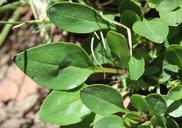 Penstemon humilis var. brevifolius