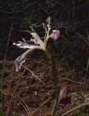 Iris tenuissima ssp. purdyiformis