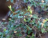 Philadelphus microphyllus