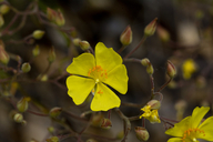 Helianthemum suffrutescens