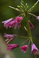 Clintonia andrewsiana