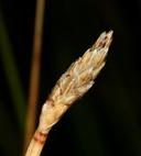 Eleocharis rostellata