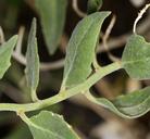 Petalonyx nitidus