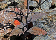Streptanthus batrachopus