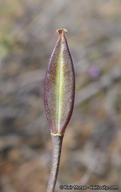 Calochortus dunnii
