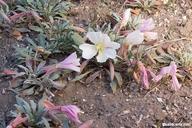 Oenothera californica ssp. avita