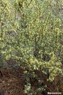 Purshia tridentata var. tridentata