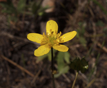 Ranunculus occidentalis var. dissectus