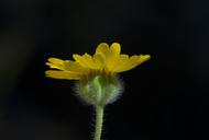 Harmonia doris-nilesiae