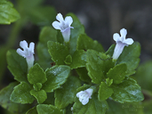 Clinopodium douglasii