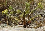 Dudleya cymosa ssp. crebrifolia