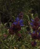 Salvia dorrii var. incana