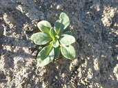 Heliotropium curassavicum var. oculatum