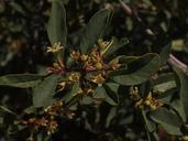 Frangula rubra ssp. modocensis