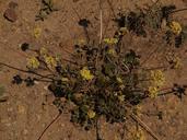 Eriogonum umbellatum var. modocense