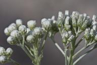 Antennaria argentea