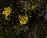 Drymocallis lactea var. austiniae