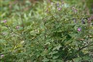 Geranium robertianum ssp. robertianum