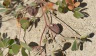 Marsilea vestita ssp. vestita