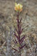 Castilleja affinis var. neglecta