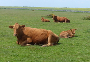 South Devon Cattle